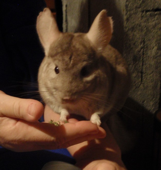 chinchilla sitting on a hand